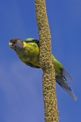 twenty-eight-parrot;australian-ringneck-parrot;Barnardius-zonarius;bird-feeding-on-grasstree