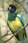 australian-ringneck-parrot;twenty-eight-parrot;port-lincoln-parrot;mallee-ringneck-parrot;barnardius