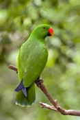 eclectus-parrot;male-eclectus-parrot;eclectus-roratus;australian-parrot;cape-york-parrot;bird-perche