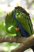 eclecturs-parrot-picture;eclectus-parrot;male-eclectus-parrot;eclectus-roratus;red-and-blue-parrot;p