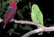 BIRDS;COLOURFUL;ENDANGERED;PARROTS;PORTRAITS;VERTEBRATES;WOODLANDS;eclectus-parrot;eclectus-roratus;
