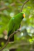 eclecturs-parrot-picture;eclectus-parrot;male-eclectus-parrot;eclectus-roratus;red-and-green-parrot;