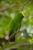 eclecturs-parrot-picture;eclectus-parrot;male-eclectus-parrot;eclectus-roratus;green-parrot;parrot;a