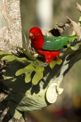 king-parrot;australian-king-parrot;red-and-green-parrot;male-king-parrot;cania-gorge-national-park