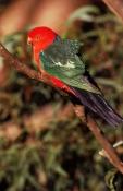 AUSTRALIA;BIRDS;COLOURFUL;NP;PARROTS;VERTEBRATES;VERTICAL;king-parrot;alisterus-scapularis