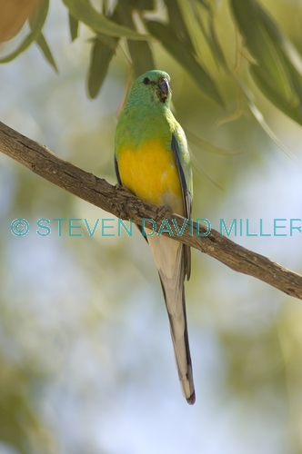 red-rumped parrt picture;red-rumped parrot;red rumped parrot;psephotus haematonotus;male red-rumped parrot;parrot;australian parrot;cooper creek;innamincka regional reserve;strzelecki track;south australia;steven david miller;natural wanders