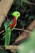 AUSTRALIA;BIRDS;PARROTS;VERTEBRATES;VERTICAL;red-winged-parrot;aprosmictus-erythropterus