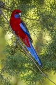 red-parrot