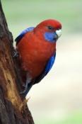 crimson-rosella-picture;crimson-rosella;platycercus-elegans;rosella;red-rosella;parrot;australian-pa