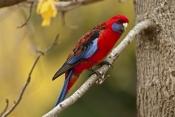 crimson-rosella-picture;crimson-rosella;red-rosella;rosella;platycercus-elegans;wild-rosella;austral