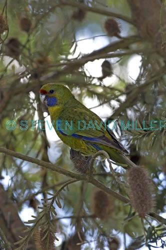 green parrot picture;green parrot;platycercus caledonicus;tasmanian parrot;parrot;australian parrot;bruny island;tasmania;camoflaged bird;camoflage;steven david miller;natural wanders