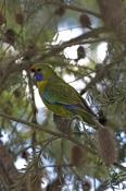 green-parrot-picture;green-parrot;platycercus-caledonicus;tasmanian-parrot;parrot;australian-parrot;