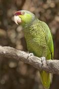 lilac-crowned-parrot;lilac-crowned-parrot;lilac-crown-parrot;finschis-amazon;finschis-amazon;amazona