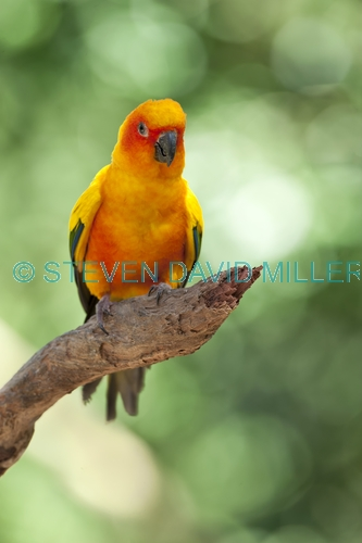 sun conure;aratinga solstitialis;south american parrot;central american parrot;small parrot;orange parrot;yellow parrot;vertical parrot picture;parrot picture with green backround;bird picture;green;bright;cheerful;sunny;steven david miller