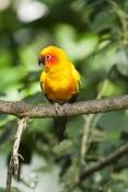 sun-conure;aratinga-solstitialis;south-american-parrot;central-american-parrot;small-parrot;orange-p