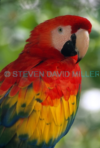 scarlet macaw picture;scarlet macaw;macaw;red macaw;captive macaw;pet macaw;scarlet macaw at bird park;central american macaw;colorful macaw;colourful macaw;macaw beak;steven david miller;natural wanders