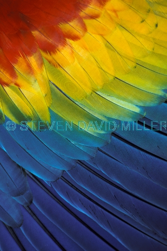 scarlet macaw picture;scarlet macaw;macaw;red macaw;scarlet macaw wing;macaw wing;parrot wing;bird wing. parrot feathers;feathers;colorful feathers;central american macaw;steven david miller;natural wanders