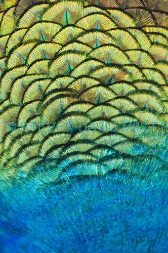 peacock feathers picture;peacock feathers;pavo crisatus feathers;steven david miller;natural wanders