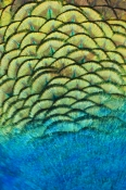 peacock-feathers-picture;peacock-feathers;pavo-crisatus-feathers;steven-david-miller;natural-wanders