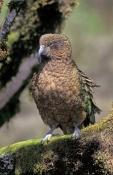 kea-parrot-picture;kea-parrot;alpine-parrot;new-zealand-parrot;nestor-notabilis;southern-alps;fiordl
