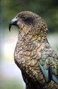beaks;BIRDS;NEW-ZEALAND;PARROTS;PORTRAITS;PROFILE;VERTEBRATES;VERTICAL;milford-sound-national-park;n