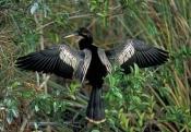 anhinga-picture;american-anhinga;anhinga;male-american-anhinga;male-anhinga;anhinga-drying-wings;anh