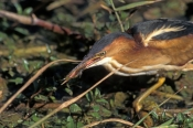 least-bittern-picture;least-bittern;bittern;heron;bittern-foraging;bittern-in-water;everyglades-nati