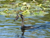 double-crested-cormorant-picture;double-crested-cormorant;double-crested-cormorant;cormorant;cormora