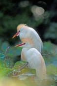 cattle-egret-picture;cattle-egret;cattle-egrets;cattle-egret-pair;bubulcus-ibis;cattle-egret-breedin