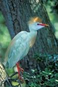 cattle-egret-picture;cattle-egret;cattle-egrets;bubulcus-ibis;cattle-egret-breeding-plumage;egret-br