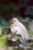BIRDS;BUBULCUS-IBIS;HERONS;MANGROVES;USA;VERTEBRATES;VERTICAL
