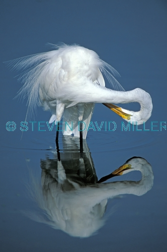 great egret picture;great egret;ardea albus;great egret preening;egret preening;bird preening feathers;white bird;white egret;wakodahtchee wetlands;delray beach;florida;steven david miller;natural wanders;reflection;bird reflection;egret reflection