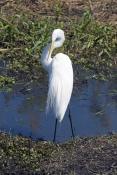 great-egret-picture;great-egret;ardea-albus;great-egret-preening-plumage;egret-preening;great-egret-