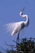 great-egret-picture;great-egret;egret;white-egret;ardea-alba;florida-bird;birds-of-florida;great-egr