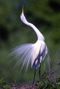 great-egret-picture;great-egret;ardea-albus;great-egret-breeding-plumage;great-egret-on-nest;egret;e