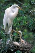 great-egret-picture;great-egret;ardea-albus;great-egret-chick;egret-chick;baby-bird;chick-in-nest;ba