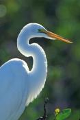 great-egret-picture;great-egret;ardea-albus;egret;white-egret;white-bird;wild-bird-center;tavernier;