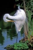 great-egret-picture;great-egret;ardea-albus;great-egret-preening;egret-preening;bird-preening-feathe