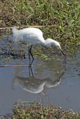 snowy-egret-picture;snowy-egret;egret;egretta-thula;egret-fishing;snowy-egret-fishing;florida-bird;w