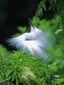 snow-egret-picture;snowy-egret;egretta-thula;white-egret;beautiful-bird;gorgeous-bird;snowy-egret-co