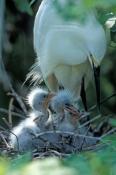 snowy-egret-picture;snowy-egret;snowy-egret-breeding-plumage;snowy-egret-breeding-colors;egretta-thu
