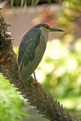black-crowned-night-heron-picture;black-crowned-night-heron;black-crowned-night-heron;nycticorax-nyc