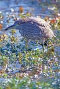 black-crowned-night-heron-juvenile-picture;black-crowned-night-heron-juvenile;black-crowned-night-he
