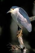 black-crowned-night-heron-picture;black-crowned-night-heron;black-crowned-night-heron;night-heron;he