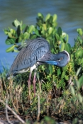 tricolored-heron-picture;tricolored-heron;louisiana-heron;tricolor-heron;egretta-tricolor;tricolored