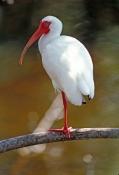 white-ibis-picture;white-ibis;ibis;white-ibis-breeding-colors;white-ibis-breeding-colours;white-ibis