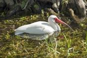 white-ibis-picture;white-ibis;ibis;white-ibis-wading;white-ibis-fishing;white-ibis-in-water;white-ib