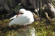 white-ibis-picture;white-ibis;ibis;white-ibis-preening;white-ibis-bathing;white-ibis-in-water;white-