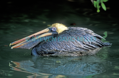 brown pelican;brown pelican picture;pelican;pelican courtship plumage;american pelican;pelican swimming;pelican with fish;mangrove habitat;southwest florida