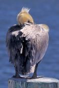 brown-pelican;brown-pelican-picture;pelican;pelican-courtship-plumage;american-pelican;pelican-sleep
